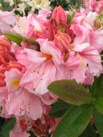 Rhododendron  'Cecile' - Tuinazalea