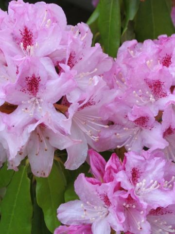 Rhododendron  'Cheer' - Tuinrododendron