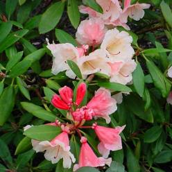 Rhododendron  'Chelsea Seventy' - Dwergrododendron