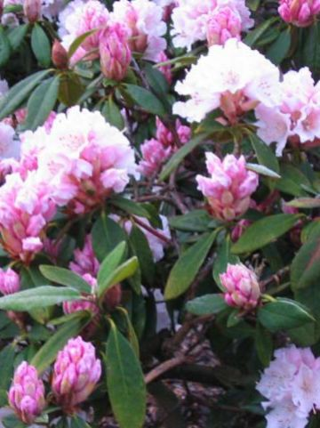 Rhododendron  'Christmas Cheer' - Tuinrododendron