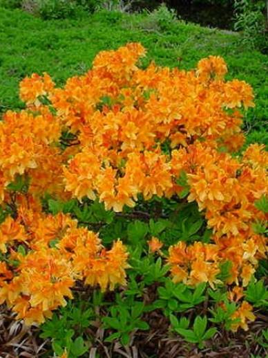 Rhododendron  'Christopher Wren' - Tuinazalea