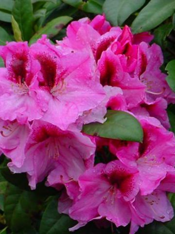 Rhododendron  'Diadem' - Tuinrododendron