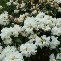 Rhododendron  'Dora Amateis' - Dwergrododendron