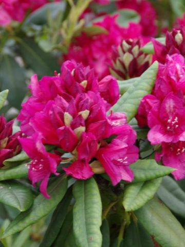 Rhododendron  'Dr H.C. Dresselhuys' - Tuinrododendron