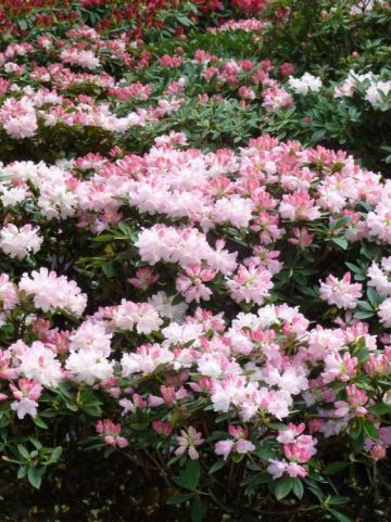 Rhododendron  'Dreamland' - Dwergrododendron