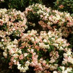 Rhododendron  'Dusty Miller' - Dwergrododendron