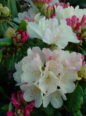 Rhododendron  'Ehrengold' - Tuinrododendron