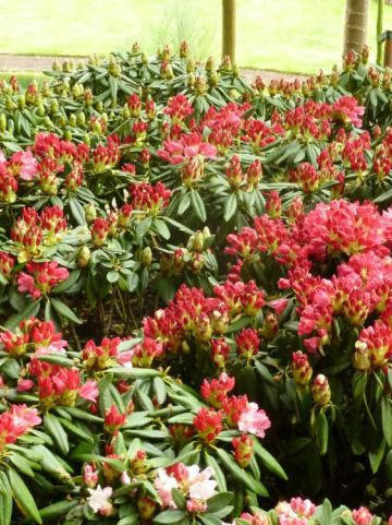 Rhododendron  'Fantastica' - Dwergrododendron