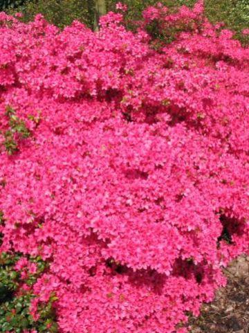 Rhododendron  'Favorite' - Japanse azalea