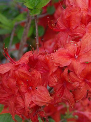 Rhododendron  'Feuerwerk' - Tuinazalea