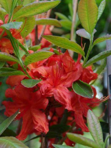 Rhododendron  'Fireball' - Tuinazalea