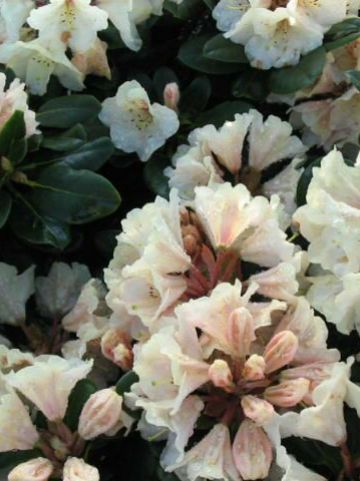 Rhododendron  'Goldbuckett' - Rododendron