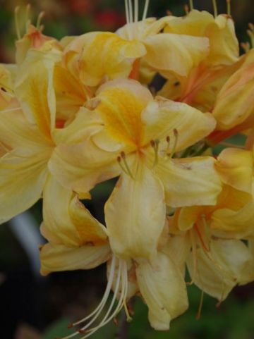 Rhododendron  'Golden Sunset' - Tuinazalea