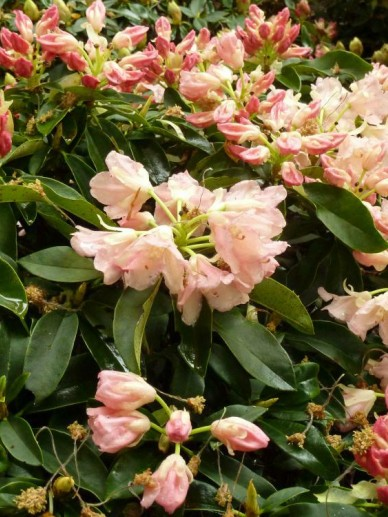 Rhododendron  'Golden Torch' - Dwergrododendron