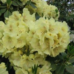 Rhododendron  'Goldkrone' - Dwergrododendron
