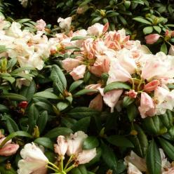 Rhododendron  'Grumpy' - Dwergrododendron