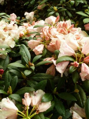 Rhododendron  'Grumpy' - Dwergrododendron