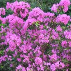 Rhododendron  'Hardijzer Beauty' - Rododendron