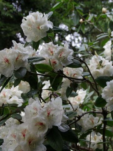 Rhododendron  'Harvest Moon' - Tuinrododendron