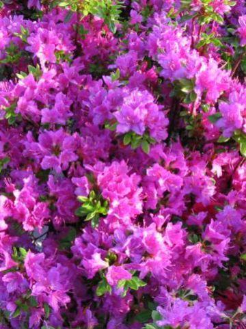 Rhododendron  'Hiroko' - Japanse azalea