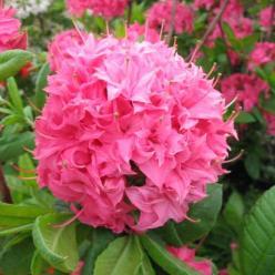 Rhododendron  'Homebush' - Tuinazalea