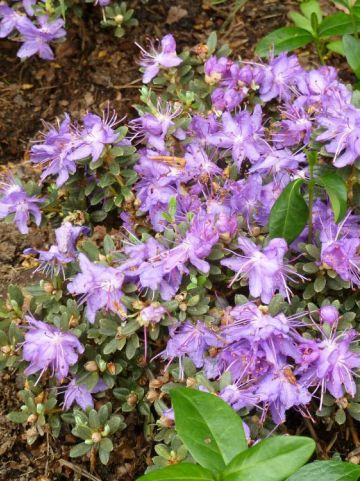 Rhododendron impeditum  - Rododendron