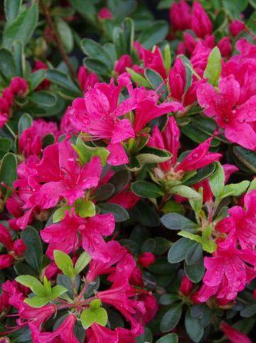 Rhododendron  'Kazuko' - Japanse azalea