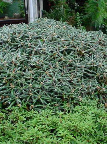 Rhododendron  'Koichiro Wada' - Dwergrododendron