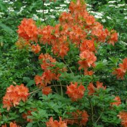 Rhododendron  'Koster's Brilliant Red' - Azalea