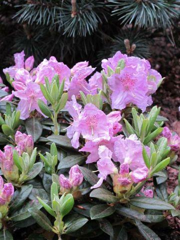 Rhododendron  'Lavendula' - Dwergrododendron