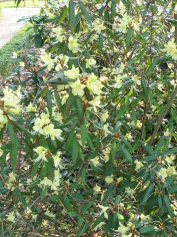Rhododendron lutescens  - Rododendron