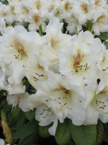 Rhododendron  'Maharani' - Rododendron