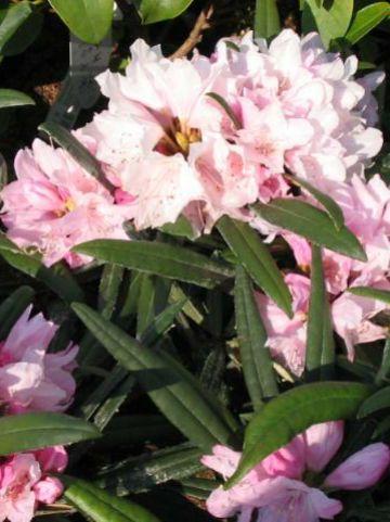 Rhododendron makinoi 'Fuju-kaku-no-matsu' - Dwergrododendron