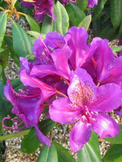 Rhododendron  'Marcel Menard' - Tuinrododendron