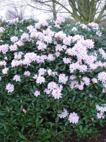 Rhododendron  'Melpomene' - Rododendron
