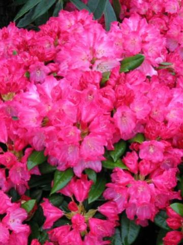 Rhododendron  'Morgenrot' - Dwergrododendron