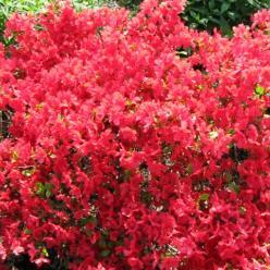 Rhododendron  'Orange Beauty' - Japanse azalea