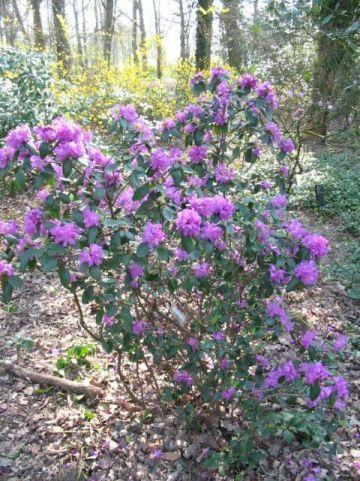 Rhododendron  'P.J. Mezitt' - Dwergrododendron