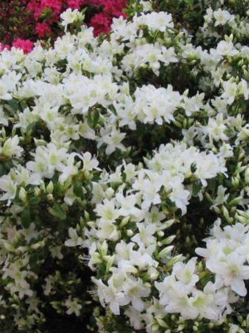 Rhododendron  'Palestrina' - Japanse azalea