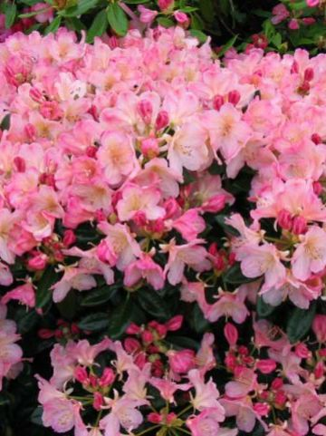 Rhododendron  'Percy Wiseman' - Dwergrododendron