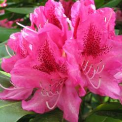 Rhododendron ponticum  - Pontische rododendron