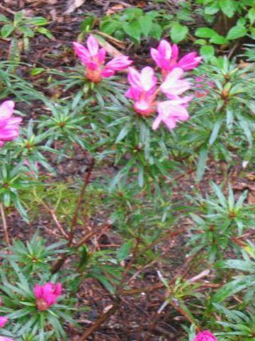 Rhododendron ponticum 'Graziella' - Dwergrododendron