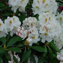 Rhododendron  'Porzellan' - Dwergrododendron