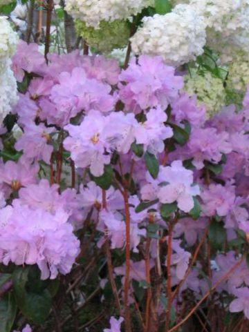 Rhododendron  'Praecox' - Rododendron