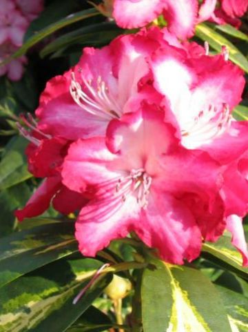 Rhododendron  'President Roosevelt' - Tuinrododendron