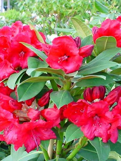 Rhododendron  'Red Jack' - Tuinrododendron