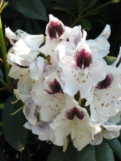 Rhododendron  'Sappho' - Tuinrododendron