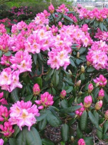 Rhododendron  'Scintillation' - Tuinrododendron