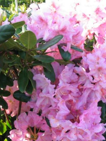 Rhododendron  'Scintillation' - Tuinrododendron