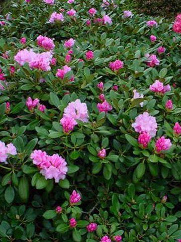 Rhododendron  'Silberwolke' - Dwergrododendron